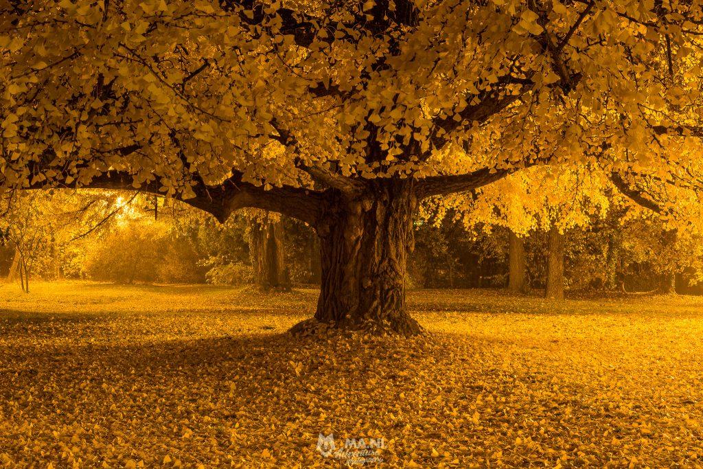 Uno dei Ginkgo Biloba del parco non assomiglia per nulla ad un albero, è semplicemente un essere vivente.