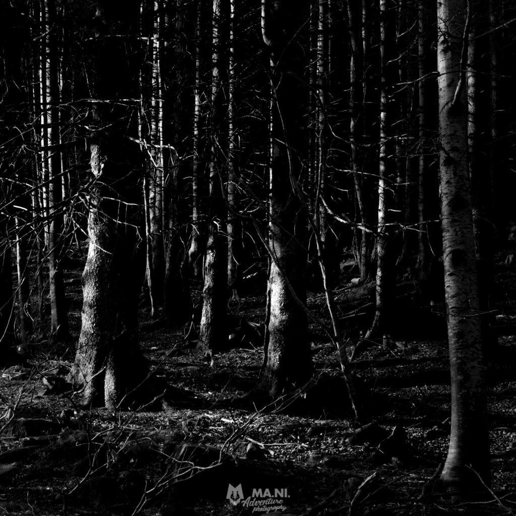 Un bosco in inverno di abeti.
